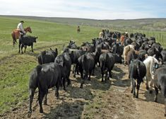 Livestock Ranching | Horseback Riding & Cattle | Focus Ranch - A Real Working Cattle Ranch ...