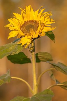 sunflower by Graziella Serra Art & Photo on 500px