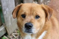 Chowser is an adoptable Chow Chow Dog in Bloomington, IN. All dogs from the Bloomington Animal Shelter are microchipped, have their first round of vaccinations, including de-worming, are tested for he...