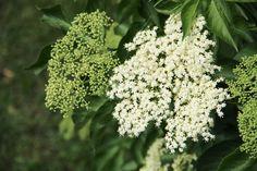 Kwiaty czarnego bzu (Sambucus nigra): zbieranie, właściwości i zastosowanie - Deccoria.pl