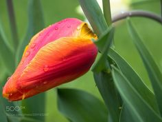 The sadness after the rain - tulip after the rain