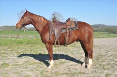 This 5-year-old Quarter Horse gelding could make a wonderful rodeo horse! See him at Equine.com: http://www.equine.com/horses-for-sale/horse-ad-3660066.html