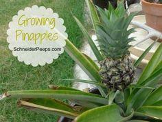 SchneiderPeeps: Growing Pinapples