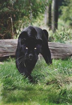 panther tattoo meaning - Sök på Google