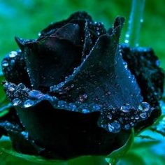 """As lindas rosas negras de Halfeti na Turquia. É o caso da hipnótica rosa negra de Halfeti. Trata-se de uma flor que além de linda é extremamente rara e só floresce uma vez ao ano. A rosa em si não é resultado de  experiência científica ou biotecnológica. Tampouco se trata de algo criado pelo mundo da ficção no cinema para atrair a atenção das pessoas.""""Há mais mistérios entre o Céu e a Terra do que sonha a nossa vã filosofia"""", já dizia o inglês Willian Shakespeare"""