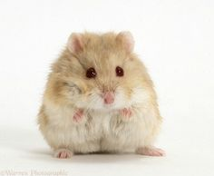 All about the Syrian hamster (a.a golden / teddy bear hamster), how to take care of them, plus lots of photos, tips and tricks. Hamster Pics, Cage Hamster, Bear Hamster, Cute Kawaii Animals, Cute Funny Animals, Cute Baby Animals, Animals And Pets, Siberian Hamster, Russian Dwarf Hamster