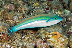 Smalltail or Pencil Wrasse, Pseudojuloides cerasinus Saltwater Tank, Beautiful Fish, Pencil, Pets, Animals, Exotic Fish, Pisces, Animales, Animaux