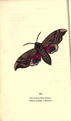 2 - The book of butterflies, sphinxes and moths; - Biodiversity Heritage Library