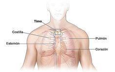EL TIMO: Es el gran RECEPTOR de la energía del Corazón