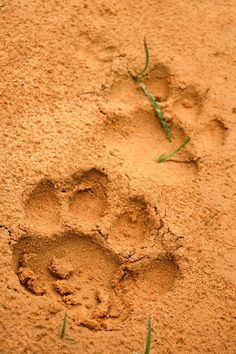 Tiger footprints Lovers Of Themselves, Animal Footprints, Perilous Times, Animal Tracks, 3 Arts, African Safari, Trippy, Creatures, Foot Prints