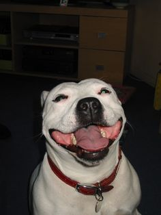 Maisie, our Staffordshire bull terrier - SMiiiilLLe :-D - doesnt' this picture make you smile?