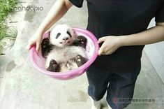 Panda Love, Love Bear, Panda Panda, Panda Bears, Cute Baby Animals, Animals And Pets, Funny Animals, Cute Creatures, Beautiful Creatures