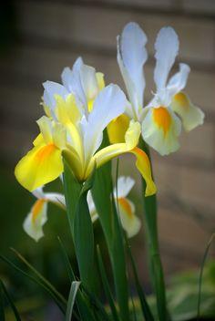 #Flowers | #flower | #Iris
