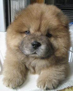 We used to have a Chow chow puppy/dog named Dreamer when I was younger that was this color. This would be an ideal dog I'd want for my family. LOVE them!