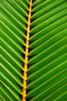 Closeup of a palm frond. Aesthetic Images, Aesthetic Wallpapers, Natural Texture, Leaf Texture, Jungle Life, Cute Kids Photography, In Natura, Visual Texture, Tropical Art