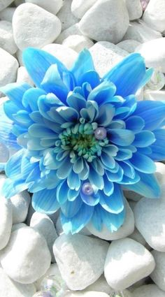 Tiffany blue flower as beautiful as my daughter with the same name single blue carnation on white rocks mightylinksfo