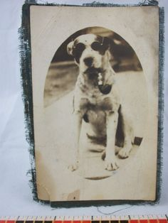 Antique Original Victorian Photograph Picture Dog Smoking Pipe Sunglasses Pet
