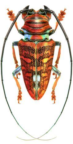 Sternotomis chrysopras (Voet, 1778) F Cerambycidae