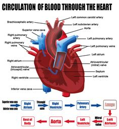 The four chambers of the heart, and the blood vessels.   School ...