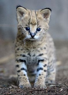 """sdzoo: """" This Caturday is dedicated to our little serval man. Pics by Mike Wilson """" Pretty Cats, Beautiful Cats, Animals Beautiful, Cute Cats, Gato Serval, Serval Kitten, Baby Animals Pictures, Cute Baby Animals, Animals And Pets"""