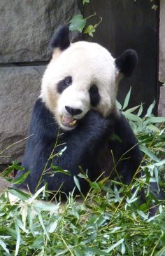 Giant Panda, Beijing Zoo, China