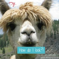 How do I look? If Llamas did online dating! #dating #onlinedating #datemy #funny #animal #quotes