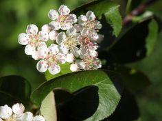 数えてみましたら、12の花ですの。全部アロニアの果実へと実りましたら嬉しいですわ。 2012年5月26日撮影