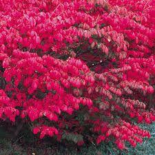 Image result for euonymus europaeus 'red cascade'
