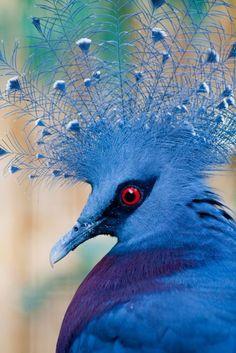 Victoria Crowned Pigeon        (Source: Flickr / torimages)