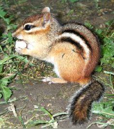 chipmunk - Bing Images