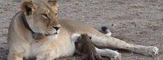 Pour la première fois, une lionne sauvage photographiée en train de nourrir un bébé léopard