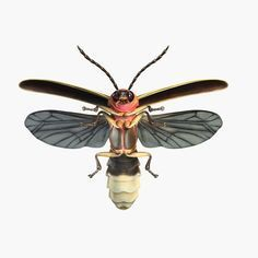 firefly insect scientific illustration - Google Search