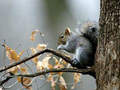 Las ardillas son animales conocidos por todos. Unas 200 especies de ardillas viven en todo el mundo, con excepción de Australia.  La ardil...