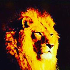 Lion king of the jungle become king or queen of your jungle start at http://ift.tt/2k4df1E  #lion #free #life #jungle #love