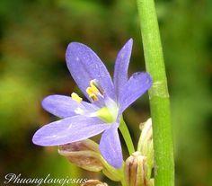 Close up of flower and buds of Monochoria vaginalis, Oval-Leafed Pondweed ...Chụp gần hoa và nụ của cây rau Mác Bao, cỏ Lưỡi Vịt, rau Mát .... by Vietnam Plants & America plants, via Flickr