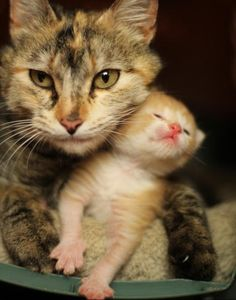 Cute cat mama and her ginger kitten snuggles - anything cuter? Really, anything? cat-stuff