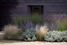 In this garden bed, plants include silvery Artemesia 'Powis Castle', perennial grass Stipa tenuissima, and purple spikes of Russian sage.