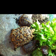 My Pancake Tortoises