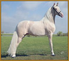 Tennessee Walker - stallion Generator's Man Of Color