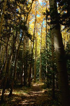 Aspens on the North Crest Trail in the Sandia Mountains, Cibola National Forest near Albuquerque, New Mexico