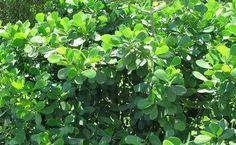 Villa Maria Rentals in the Florida Keys - The Ultimate Vacation Rental in Key Largo and Islamorada Clusia, Florida Native Plants, Curb Appeal, Pond, Nativity, Wedding Flowers, Wildlife, Herbs, Patio