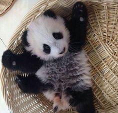 Baby Panda needs a hug. Cute Creatures, Beautiful Creatures, Animals Beautiful, Cute Little Animals, Cute Funny Animals, Baby Panda Bears, Baby Pandas, Panda Love, Cat Dog