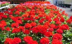 Geraniums -red