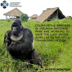 "Courtesy of #LDFoundation partner Virunga.org.           Good ‪#‎action2015‬ news: UN Messenger of Peace Leonardo DiCaprio's foundation has granted $15 million to environmental projects around the world.  ""The destruction of our planet continues at a pace we can no longer afford to ignore,"" said Leonardo DiCaprio. ""I am proud to support these organizations who are working to solve humankind's greatest challenge."""