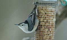 White-breasted Nuthatch :: Bird Identification Guide :: Bird Watchers Digest
