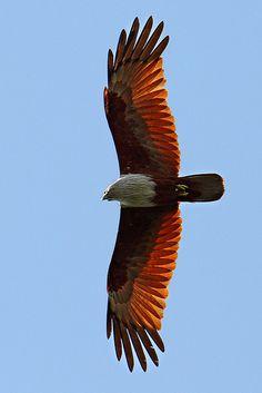 Brahminy Kite - Awesome Shot !