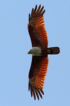 The Brahminy Kite (Haliastur indus) also known as the Red-backed Sea-eagle in Australia, is a medium-sized bird of prey in the family Accipitridae, which also includes many other diurnal raptors such as eagles, buzzards and harriers. They are found in the Indian subcontinent, Southeast Asia and Australia.