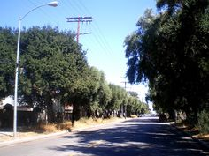 Olive trees planted in late 19th century lining both sides of Lassen St. between Topanga Canyon Blvd. and Farralone Ave