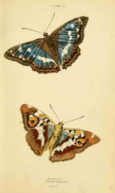 An poster sized print, approx (other products available) - Purple Emperor Butterflies Date: 1868 - Image supplied by Mary Evans Prints Online - Poster printed in the USA Butterfly Illustration, Butterfly Drawing, Nature Illustration, Botanical Illustration, Science Illustration, Flora Und Fauna, Fine Art Prints, Canvas Prints, 1 Tattoo