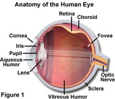 Human eye anatomy parts of the eye explained diagram molecular expressions microscopy primer physics of light and color human vision and color perception ccuart Choice Image